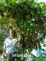 Семена Виноград «Загадка Шарова» - 10 семян, ранний, морозостойкий, сибирской селекции, ягода темно-синяя, вкус сладкий