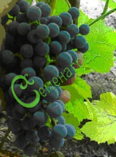 Семена Виноград «Изабелла» - 10 семян - очень морозостойкий (-35 С), ягода тёмно-синяя, с земляничным привкусом