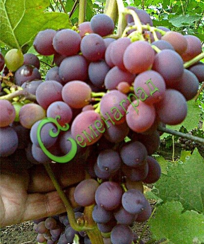 Семена винограда Виноград «Кардинал», выведен в США - очень ранний, известный столовый сорт, ягода бордовая. Семенаград - семена почтой