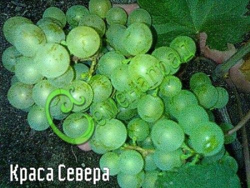 Семена винограда Виноград «Краса Севера» - 1 уп.-10 семян - ранний, морозостойкий, ягода сладкая, белая, агротехника аналогична предыдущим, все предлагаемые сорта самоопыляемые. Семенаград - семена почтой