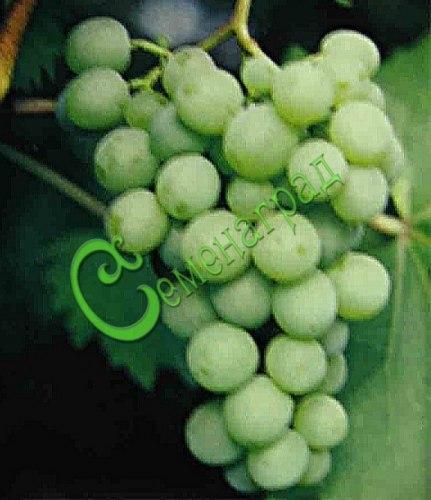 Семена Виноград «Московский устойчивый» - 10 семян - ранний, морозостойкий, ягода зелёная
