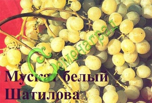Семена винограда Виноград «Мускат белый Шатилова» - 1 уп.-10 семян - ранний, морозостойкий, ягода белая, с приятным мускатным вкусом, семена стратифицировать 3 месяца или сажать под зиму, как и все сорта. Семенаград - семена почтой