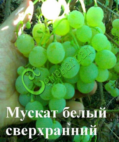 Семена винограда Виноград «Мускат сверхранний» - 1 уп.-10 семян - очень ранний, морозостойкий, ягода белая, с приятным мускатным вкусом, семена стратифицировать 3 месяца или сажать под зиму, как и все сорта. Семенаград - семена почтой