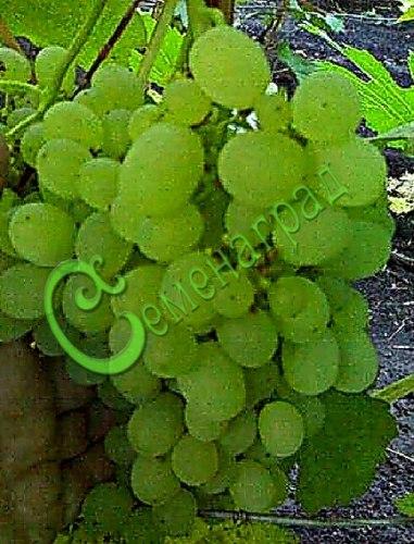 Семена Виноград «Особый» - 10 семян - очень ранний, ягода белая, крупная, устойчивый к болезням, морозостойкий сорт