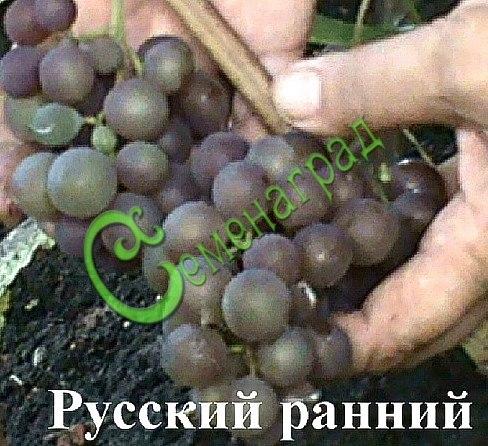 Семена винограда Виноград «Русский ранний» - 1 уп.-10 семян - ранний, ягода розово-бордовая, крупная, классика. Семенаград - семена почтой
