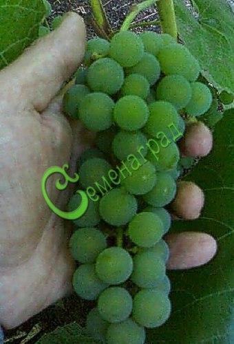 Семена винограда Внноград «Таёжный изумруд», 1 уп.-10 семян - сверхранний, зеленовато-белый, сладкий, устойчивый к болезням, морозостойкий сорт. Семенаград - семена почтой