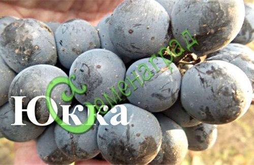 Семена винограда Виноград «Юкка», 1 уп.-10 семян - выведен в США - очень ранний, ягода тёмно-синяя, крупная, устойчивый к болезням, морозостойкий сорт. Семенаград - семена почтой