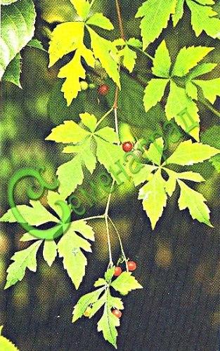 Семена виноградовника Виноградовник аконитолистный - 1 уп.-10 семян - мощная, листопадная цепляющаяся при помощи усиков лиана 4-5 м высотой. Листья лопастные, похожие на листья винограда. Ценится за осеннюю окраску листьев и декоративные плоды. Быстро растёт, нуждается в крепкой опоре и обширном пространстве для роста. Семенаград - семена почтой