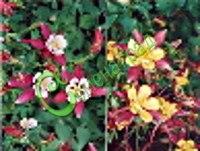 Семена водосбора Водосбор гибридный, или аквилегия - 1 уп.-30 семян - простой, но красивый цветок, очень ранний, цветение продолжительное, смесь сортов, многолетник. Семенаград - семена почтой