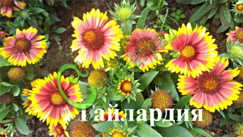 Семена Гайлардия гибридная - 30 семян - многолетник до 50 см высотой, соцветия-корзинки до 10 см в диаметре
