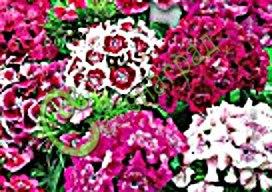 """Семена гвоздики турецкой Гвоздика турецкая """"Индийский ковёр"""" - красивый многолетник, смесь окрасок, обильное, продолжительное цветение. Семенаград - семена почтой"""