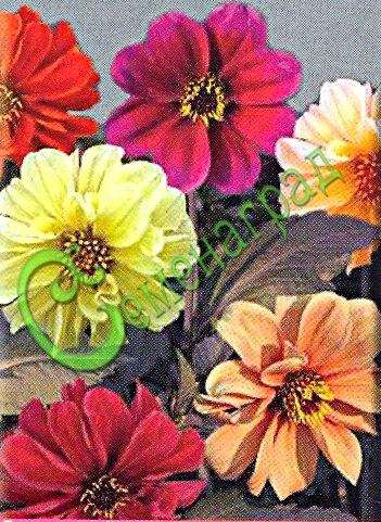 """Семена георгины Георгина """"Мефистофель"""" - 1 уп.-30 семян - декоративный однолетник, крупноцветковая, смесь окрасок. Растения ветвистые, до 70 см высотой, отличаются необычной бронзовой темной листвой, на фоне которой великолепно смотрятся махровые и полумахровые яркие соцветия 9-10 см в диаметре, цветение длительное, до осенних холодов. Семенаград - семена почтой"""