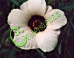 Семена гибискуса Гибискус тройчатый - 1 уп.-30 семян - редкий однолетник семейства мальвовых, цветки крупные, замысловатая смесь разных тонов с чёрным глазком. Семенаград - семена почтой
