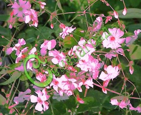 Семена Гипсофила изящная - 15 семян - куст 30-50 см высоты, ветвящийся, цветки розовые, цветение обильное