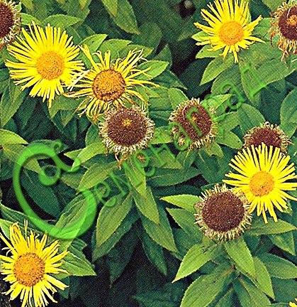 Семена Девясил крупноголовчатый - 30 семян, многолетник, высотой до 1,5 м, лекарственное, декоративное растение