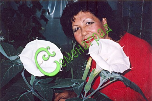 Семена дурмана Дурман индейский «Медея» - 1 уп.-5 семян - славится красивыми до 20 см в диаметре белыми ароматными цветками, многолетник, в средней полосе культивируется как однолетник, семена лучше всходят в тёплой земле. Семенаград - семена почтой