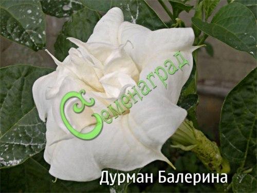 Семена дурмана Дурман махровый «Балерина» - 1 уп.-5 семян - крупные, до 18 см в диаметре, махровые белые цветы с приятным тонким ароматом, семена лучше всходят в тёплой земле, сажать как и другие дурманы вместе с томатами. Семенаград - семена почтой