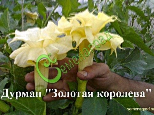 Семена дурмана Дурман махровый «Золотая королева» - 1 уп.-5 семян - крупные, до 18 см в диаметре, махровые золотистые цветы под вечер источают приятный лилейный, пьянящий аромат, семена лучше всходят в тёплой земле. Семенаград - семена почтой