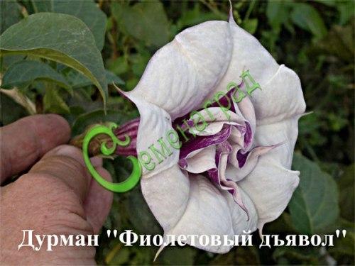 """Семена дурмана Дурман махровый """"Фиолетовый дьявол"""" - 1 уп.-5 семян - очень ароматные большие бело-фиолетовые цветы. Посев семян на рассаду в ящик на глубину 1,5 см в тёплую землю (лучше в теплицу на солнечный обогрев или под лампу). Прорастание после 3, до 4 недель. Семенаград - семена почтой"""