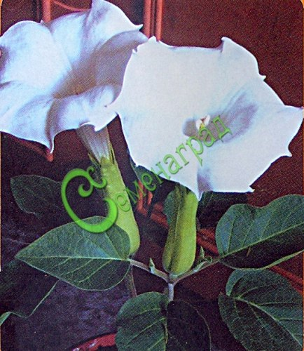 Семена дурмана Дурман обыкновенный - 1 уп.-10 семян - если можно так выразиться, прародитель породы дурманов. Семенаград - семена почтой