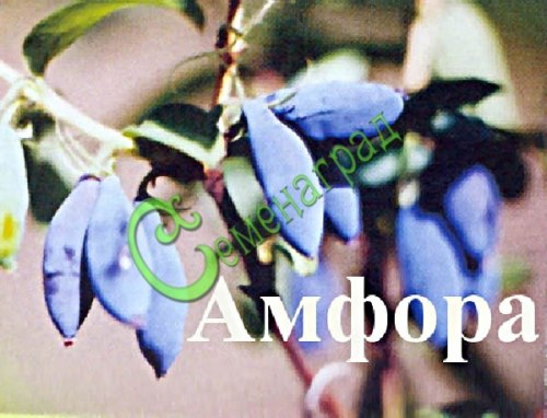 Семена Жимолость «Амфора» - 20 семян, садовая, крупная, семена сажать под зиму в ящики под снег или стратифицировать 3 месяца