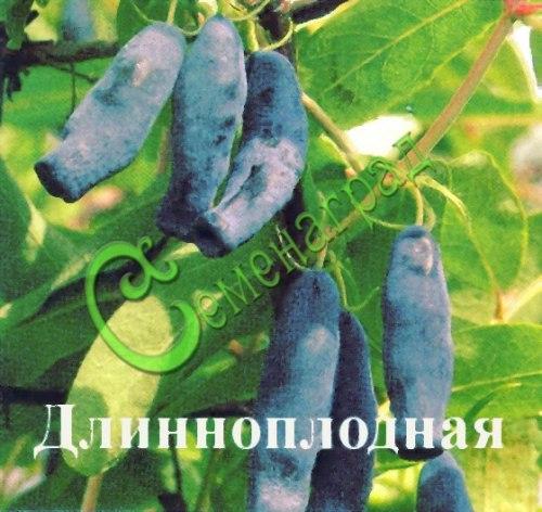 Семена Жимолость «Длинноплодная» - 20 семян, садовая, крупная, семена сажать под зиму в ящики под снег или стратифицировать 3 месяца