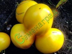Семена томата Бычье сердце желтый - 1 уп.-20 семян - высокорослый, до 500 г, ранний. Семенаград - семена почтой