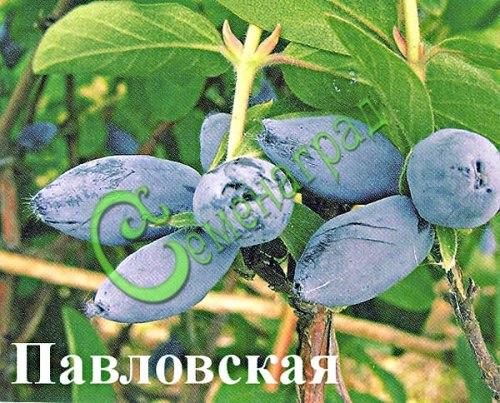 Семена Жимолость «Павловская» - 20 семян, садовая, крупная, семена сажать под зиму в ящики под снег или стратифицировать 3 месяца