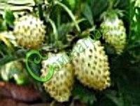 Семена земляники Земляника « Белый лотос» - 1 уп.-30 семян - с усами, ремонтантная, сама создаёт обильно цветущую и плодоносящую до самых морозов лужайку, ягода 4,0-4,5 г, белая, ароматная, сладкая, вкусная, равных нет, настоящий эксклюзив. Семенаград - семена почтой