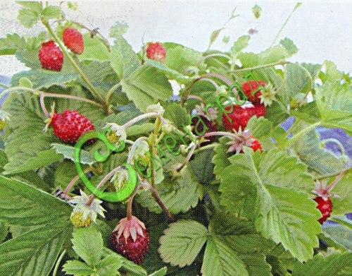 Семена почтой Земляника « Красный лотос» - 30 семян, с усами, ремонтантная, обильно цветущая и плодоносящая до самых морозов