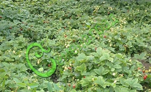 Семена земляники Земляника « Красный лотос» - 1 уп.-30 семян - с усами, ремонтантная, сама создаёт обильно цветущую и плодоносящую до самых морозов лужайку, ягода красная, настоящий эксклюзив. Семенаград - семена почтой