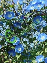 Семена Ипомея «Голубой небосвод» - 10 шт. - одна из самых прелестных однолетних обильно цветущих лиан