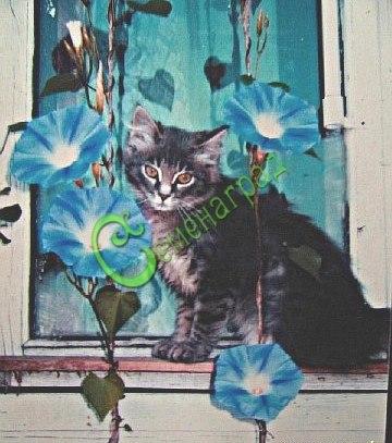 Семена ипомеи Ипомея голубая «Голубой небосвод» - 1 уп.-10 шт. - одна из самых прелестных однолетних обильно цветущих лиан, зрелище необыкновенное, никто не останется равнодушным, выращивать рассадой в горшочках, чтобы сохранить корневую систему. Семенаград - семена почтой