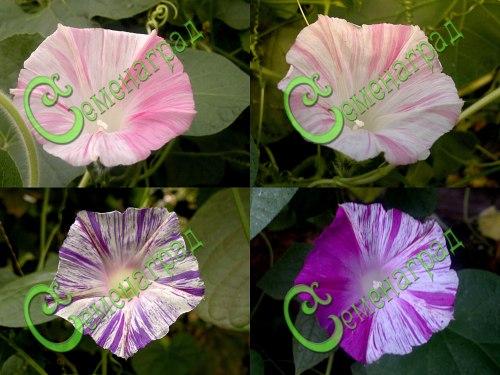 """Семена ипомеи Ипомея """"Карнавал в Венеции"""" - 1 уп.-10 семян - выведена в Италии - красивая лиана с разноцветными звёздчато-полосатыми цветками, обильно и непрерывно цветущая всё лето до заморозков. Семенаград - семена почтой"""