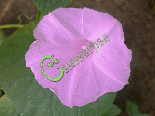 Семена ипомеи Ипомея пурпурная - неприхотливая, быстрозацветающая лиана для вертикалей. Семенаград - семена почтой