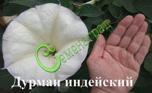 Семена дурмана Дурман индейский «Медея» (и моя рука - Ю.В.) - славится красивыми до 20 см в диаметре белыми ароматными цветками, многолетник, в средней полосе культивируется как однолетник, семена лучше всходят в тёплой земле. Семенаград - семена почтой