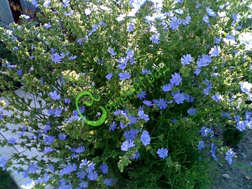 Семена цикория Цикорий обыкновенный (общий вид) - многолетник, весной хорошо развивающиеся молодые побеги укутывают мешковиной и присыпают землей, чтобы не проникал свет. Через 2-3 недели побеги и листья будут белыми, их и едят тушеными, вареными и жареными. А высушенные, поджаренные и размолотые корни цикория являются замечательным заменителем кофе, снижает уровень сахара в крови. Семенаград - семена почтой