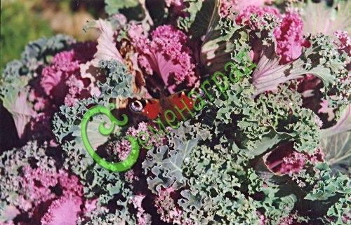 Семена Капуста декоративная - 20 семян - смесь окрасок, очень красива, украшение сада