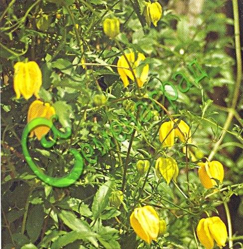 Семена Клематис тангутский - 20 семян, многолетняя, очень морозостойкая лиана, мощная, обильно цветущая жёлтыми цветками