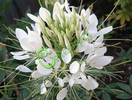 Семена клеомы Клеома колючая белая - экзотический однолетник высотой до 1,5 м, обильно цветёт с июня до заморозков. Необычные по форме цветки на длинных цветоножках будут привлекать и завораживать. Семенаград - семена почтой