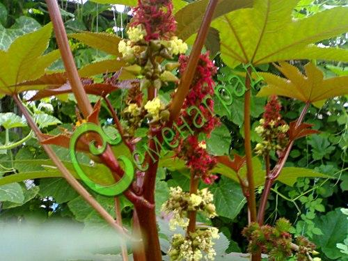 """Семена клещевины Клещевина обыкновенная """"Казачка"""" - 1 уп.-3 семени - высотой до 2 м, в народе называют однолетней пальмой, стебли коричнево-красные, листья темно-зеленые с красными жилками, молодые - красновато-фиолетовые, очень декоративна. Семенаград - семена почтой"""