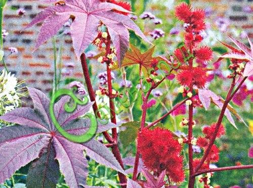 Семена клещевины Клещевина занзибарская, 1 уп.-3 семени - высотой до 2 м, отличается фиолетово-красными листьями. Семенаград - семена почтой
