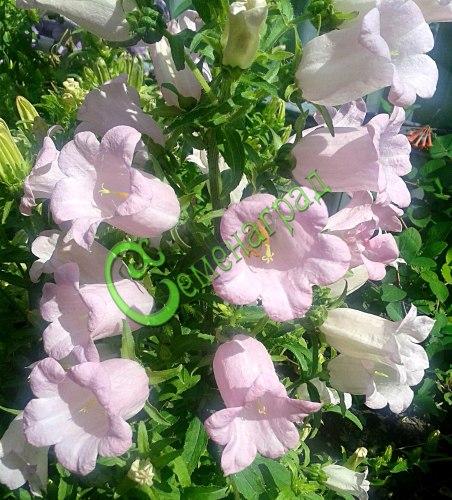 """Семена колокольчика Колокольчик """"Чашечка с блюдцем""""- двухлетник высотой 1 м, цветки розовые, крупные. Семенаград - семена почтой"""