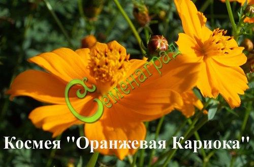 """Семена космеи Космея """"Оранжевая Кариока"""", 1 уп.-20 семян, выведена во Франции - однолетник, высота 1 м, с обильным и длительным цветением. Семенаград - семена почтой"""