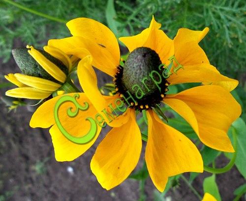 Семена ксантисмы Ксантисма техасская - 1 уп.-20 семян - приятный однолетник, желтые цветки диаметром около 5 см цветут с июня до морозов. Семенаград - семена почтой