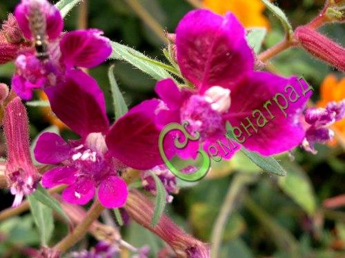 Семена куфеи Куфея липчайшая - 1 уп.-20 семян - оригинальное растение высотой 70 см с цветками необычной формы и оттенками цвета от тёмно-бордового до алого и белого. Семенаград - семена почтой