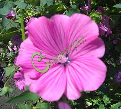 Семена лаватеры Лаватера - 1 уп.-15 семян - однолетник высотой до 1 м с розовыми цветками и обильным цветением до морозов, хороша и в срезке и на грядке, особенно отдельной группой. Семенаград - семена почтой