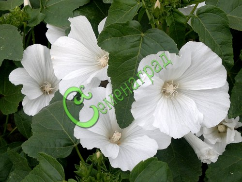 Семена лаватеры Лаватера «Невеста» - 1 уп.-15 семян - однолетник высотой до 1 м с белыми трогательными цветками и обильным цветением до морозов, хороша и в срезке и на грядке, особенно отдельной группой. Семенаград - семена почтой