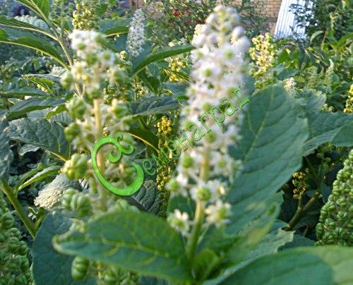 Семена лаконоса Лаконос американский (фитолакка) (цветение) - многолетник, необычное декоративное и лекарственное растение, высота 1,5-1,8 м, на зиму надземная часть отмирает. Семенаград - семена почтой