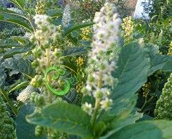 Семена Лаконос американский (фитолакка) - 10 семян - многолетник, декоративное и лекарственное растение, высота 1,5-1,8 м
